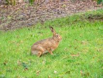Easter brown hare, Lepus europaeus. Peebles, Scotland. A stunning example of the European or brown hare, Lepus europaeus, in grassland near the Scottish Borders royalty free stock images