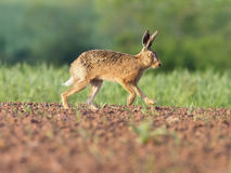 European brown hare, Lepus europaeus. Single hare on field, Warwickshire, May 2017 royalty free stock photography
