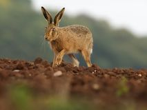 European Brown hare, Lepus europaeus. Single hare on field, Warwickshire, September 2017 stock photo