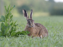 European brown hare, Lepus europaeus. Single hare, Warwickshire, June 2017 royalty free stock image