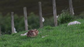 Brown hare, Lepus europaeus, sitting, hiding on long grass in summer, june in a glen in the cairngorms national park. European brown hare, Lepus europaeus stock video footage