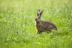 European Brown hare in meadow stock photography