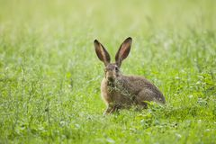 European Brown hare in meadow royalty free stock image