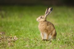 European Brown hare in meadow. European Brown hare Lepus europaeus sitting in a meadow and feeding on a plant, Germany royalty free stock photography