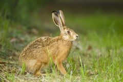 European Brown hare in meadow royalty free stock photos