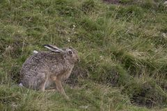 European Brown Hare, Sitting, Laying And Running Amongst Tall Grass