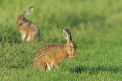 European Brown Hares Stock Photos