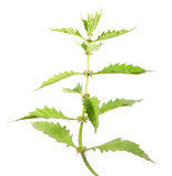 European bugleweed or gypsywort or Lycopus europaeus isolated on white background. Medicinal plant Stock Image