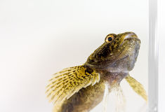 European bullhead Royalty Free Stock Image