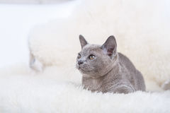 European Burmese cat gray kitten ,sitting on the white fur Royalty Free Stock Photography