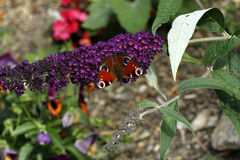 European Butterfly on a buddleia flower Stock Photo