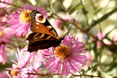 European butterfly  Royalty Free Stock Photo