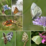 European Butterfly Species Collection. Collage of European butterfly species, Series I - (from top to bottem, left to right): amanda's blue, heath fritillary stock images