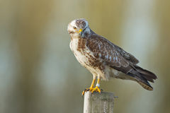 European buzzard Stock Photos
