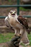European buzzard Stock Image