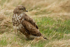 European buzzard ( buteo buteo ) Royalty Free Stock Photo