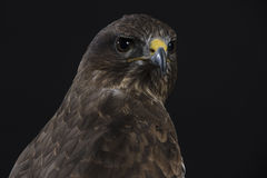 European buzzard Stock Photo