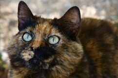 European calico cat. Portrait of european calico cat stock photography