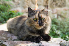 European calico cat Royalty Free Stock Photography