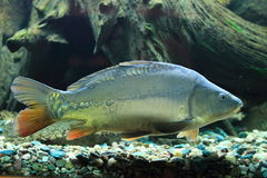 European carp. Floating in water Royalty Free Stock Images