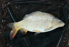 European carp - Cyprinus carpio Royalty Free Stock Images