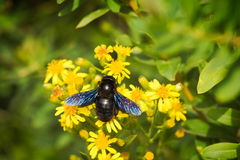 European carpenter bee Royalty Free Stock Photography