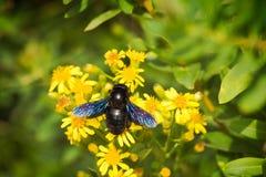 European carpenter bee. A big European carpenter bee (Xylocopa violacea) pollinating flowers. Sharp photo royalty free stock photography