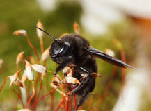 European carpenter bee climb on moss Royalty Free Stock Photos