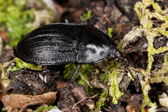 European carrion beetle (Phosphuga atrata) Stock Image