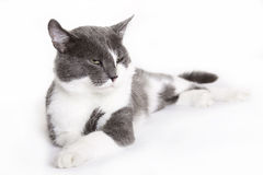 European cat Royalty Free Stock Photo