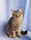 European cat. Royalty Free Stock Photos