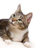 European cat Stock Photography