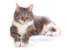 European cat Royalty Free Stock Image