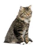 European cat Royalty Free Stock Photos