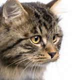 European cat Stock Photography