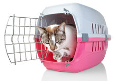 European cat in cage licking his paw. Stock Image
