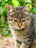 European cat close up. Against a green grass Royalty Free Stock Photos