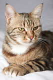 European cat in front on a gray Royalty Free Stock Photos