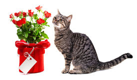 European cat with gifts. Stock Photo