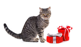 European cat with gifts. Stock Photos