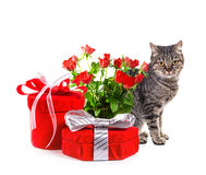 European cat with gifts. Royalty Free Stock Photos