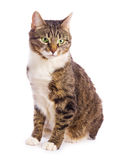 European cat Stock Images