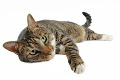 European cat lying. Portrait of domestic cat on lying white background stock photo