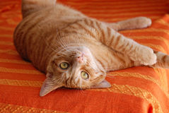 European cat. With red fur Royalty Free Stock Photography
