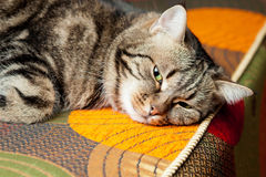 European cat relaxing on sofa Stock Photo
