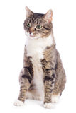 European cat sitting Royalty Free Stock Photography