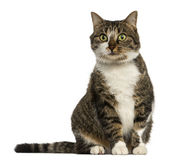 European cat sitting, isolated Stock Photography