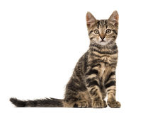 European cat sitting , isolated Royalty Free Stock Photos