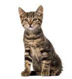 European cat sitting , isolated Royalty Free Stock Photography