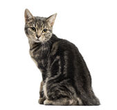 European cat sitting, looking backwards, isolated Royalty Free Stock Image